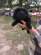 Mixed Breed Puppies in New Orleans, Louisiana