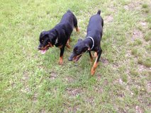 Pure Bred Female Rottweiler in Spring, Texas