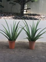 Healthy Aloe Vera Plants in Okinawa, Japan
