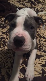 1 yr. old AMSTAFF Mix (no pit) in Fort Rucker, Alabama