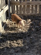 piglet in Fort Leonard Wood, Missouri