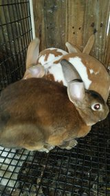 Rex rabbits in Fort Leonard Wood, Missouri