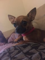 1 year old female chihuahua in San Antonio, Texas