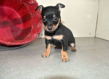 Adorable female chihuahua pup for adoption. in Nellis AFB, Nevada