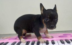 Adorable female chihuahua puppy for re-home. in Virginia Beach, Virginia
