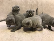 Scottish Fold/BKH Kitten in Tinker AFB, Oklahoma