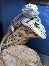 Adult Bearded Dragon with setup in Leesville, Louisiana