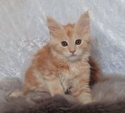we have had a stunning litter of Maine Coon kittens in West Orange, New Jersey