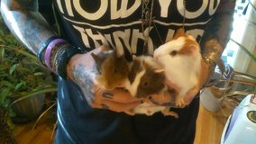 GuineaPigBabies in Fort Campbell, Kentucky