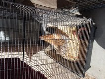 Roosters, bantam in 29 Palms, California