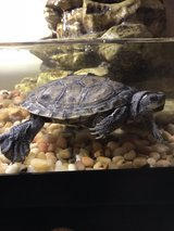 Mississippi Map turtle in Fort Polk, Louisiana