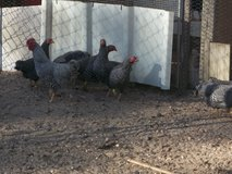 Barred Rock Bantam Chickens in Cleveland, Texas