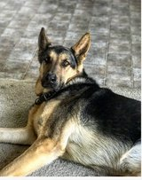 Looking for a great home  for my German Shepard in Camp Pendleton, California