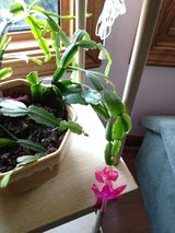 Christmas Cactus clippings,  now blooming in Naperville, Illinois