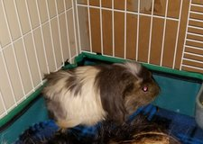 Guinea Pig in Fairfield, California