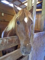 SWEET, CALM 8 yr. old Mare in Cleveland, Texas