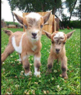 3 baby goats for sale in Cherry Point, North Carolina