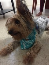 Yorkshire terrier in Lawton, Oklahoma