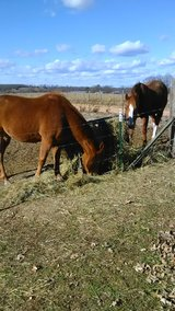 Moving must sell two horses in Fort Leonard Wood, Missouri
