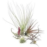 5 pack of mixed Airplants in Oceanside, California