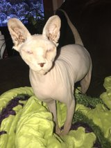 Sphynx juvenile cats in Fort Knox, Kentucky