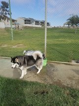 2 year old husky for sell in Oceanside, California