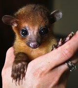 kinkajou for sale in Texas,(jonathanthompson764@gmail.com) in Arlington, Texas