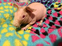Skinny pig hairless guinea pig female in Naperville, Illinois