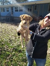 Part lab puppy can send you picture s of mother and dad in Fort Polk, Louisiana