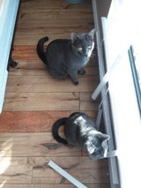 Russian blue hair CATs in need of a Good Loving HOME in Lawton, Oklahoma
