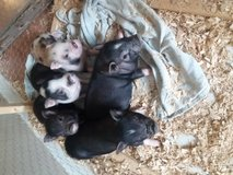 Mini pigs in Oswego, Illinois