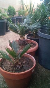 Sago palms/Washintonia/Silver date palm Exotic rare palms. in 29 Palms, California