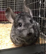 4-5 Year Old Standard Grey Female Chinchilla -- needs experienced home in Chicago, Illinois