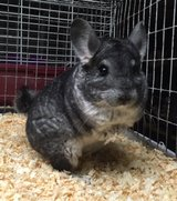 8+ Year Old Active Senior Female Chinchilla -- Tank in Chicago, Illinois
