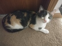 Spayed/ female calico in Fort Leonard Wood, Missouri