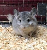 2 Month Old Silver Mosaic Female Chinchilla -- MNWI H78 in Chicago, Illinois