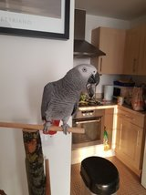 Male and Female African Grey Parrots For Christmas in Cleveland, Texas