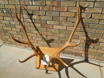 Elk 6x5 antler mount. A beauty. Reduced in Alamogordo, New Mexico