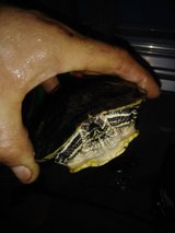 Free turtles must take all 3 in Naperville, Illinois