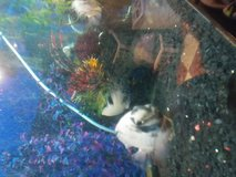 14 marbled cichlids 8 babies 30$4all in Naperville, Illinois