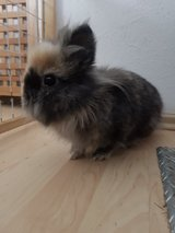 2 paired lionhead rabbits in Ramstein, Germany