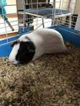Guinea pig in Elizabethtown, Kentucky