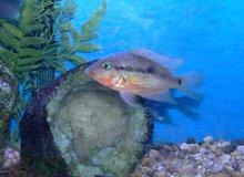 Tropical Fish -- 2 Firemouth cichlids in Bartlett, Illinois