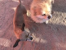 Sweet little girl dogs a Chihuahua and Pomeranian in Yucca Valley, California