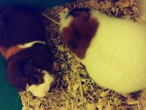 Guinea pigs need gone asap in Lawton, Oklahoma