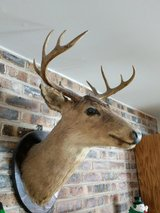 Deer Head in Naperville, Illinois