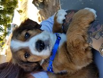 Puppies 8 weeks old gs and st Bernard in San Diego, California