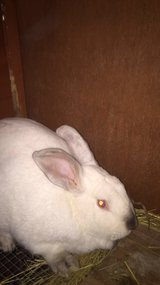 male bunny needs new home ASAP in Morris, Illinois