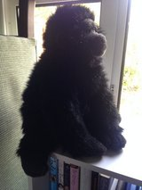 Large TY beanie George the Gorilla (no tag) in Lakenheath, UK