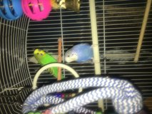 Boy and girl parakeets in Fort Leonard Wood, Missouri